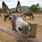 donkey_orig
