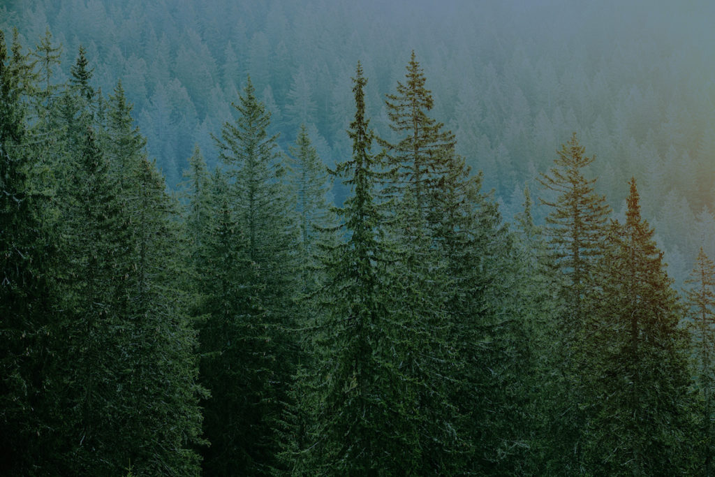 Photo of evergreen forest